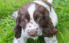 Cocker Spaniel Cookie is a determined little puppy, who will try, try and try again!