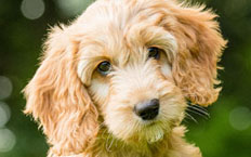 Juno is a confident, cute, cuddly Cockapoo, full of love and affection.