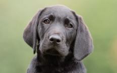 Kai is a little black Lab with a great big personality and oodles of mischievous charm.
