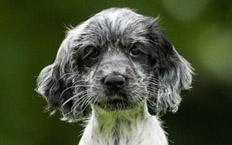Little Libby is a lively, cheeky and playful Cocker Spaniel with a very strong will!
