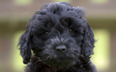 Marnie is a beautiful, black, bold Cockapoo - the boldest of the three in her litter.