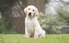 Otto is a handsome yellow Labrador who is top of his puppy class.