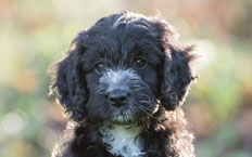 Scout is a puppy of two halves: a gentle student, and a full-on mad Cockapoo.