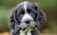 Victor is a black, get-up-and-go Cocker Spaniel pup with white paws that look like he's been dipped in paint.