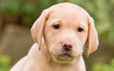 Zara is a beautiful dark yellow Labrador puppy with bright, brown eyes that catch the sunlight.